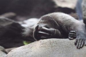 Black Macacca Tangkoko Tour