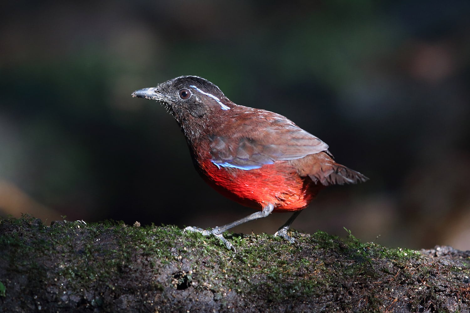 kerinci birding tour for graceful pitta