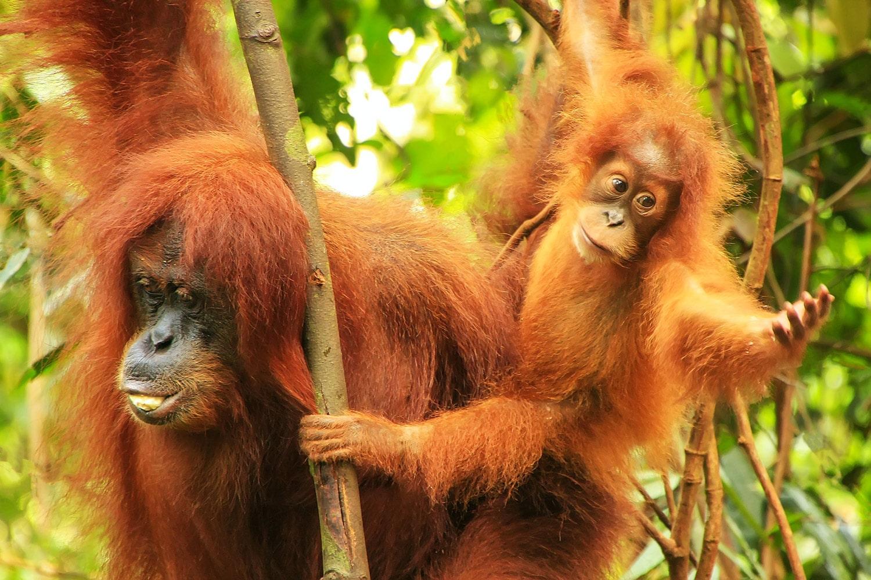 Orangutan Tour Bukit Lawang