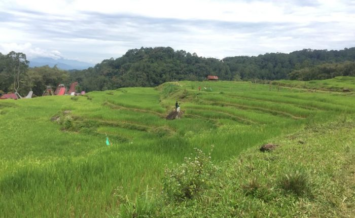 Rice Fields of Toraja Land